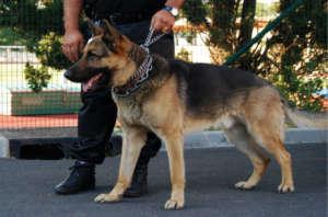 Schutz-Wach-und-Spürhunde